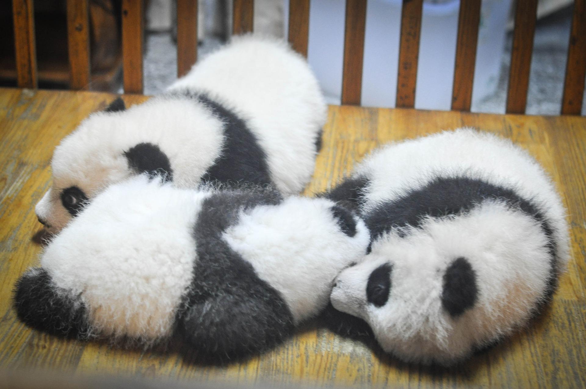 リラックスしている子パンダの写真
